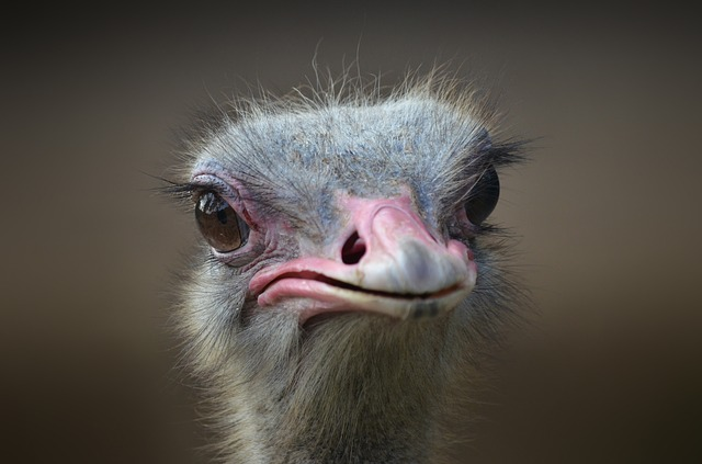Ostrich, Bird, Portrait, Beak, Neck, Head, Nature, Wild