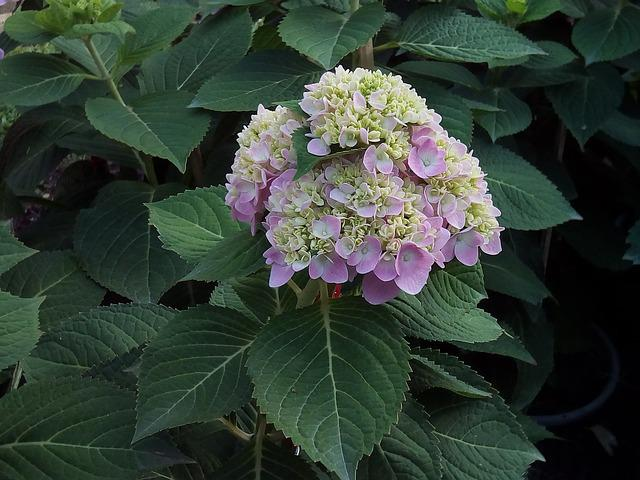 Other Training Offerings, Hydrangea Flowers Jia, Nature
