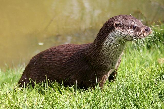 Otter, Wildlife, Nature, Mammal, Carnivore, Water