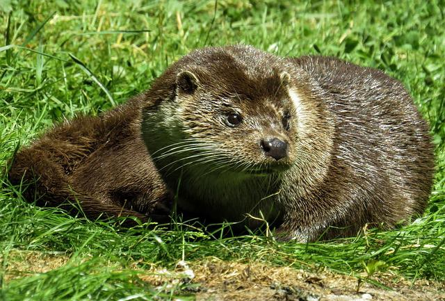 Animal, Otter, Fur, Meadow, Wildlife Photography, Zoo