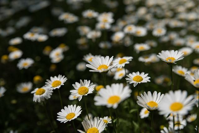 Spring, Kogiku, Flower Fields, Out Of Focus, Park