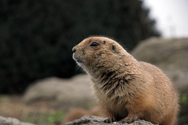 Outdoor, Animal Kingdom, Mammals, Prairie Dog, Blijdorp