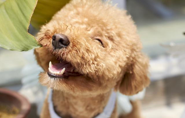 Dog, Smile, Outdoor, Paste, Variety, Small, Poodle