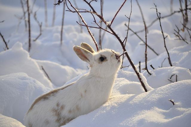 Rabbit, Wild, Animal, Nature, White, Wildlife, Outdoor