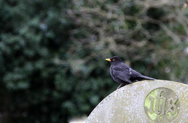 Bird, Nature, Wildlife, Outdoors, Animal, Blackbird