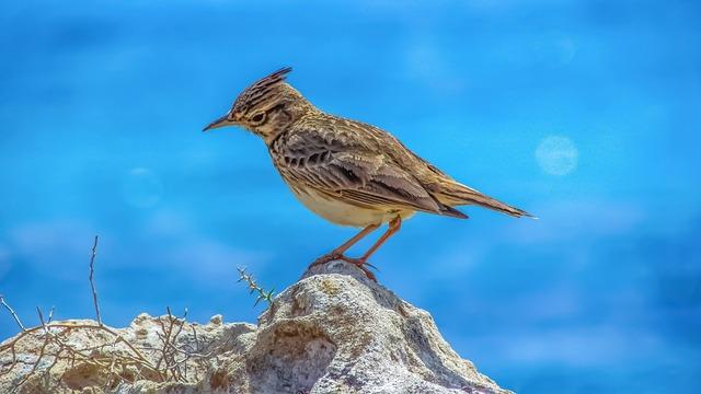 Lark, Nature, Wildlife, Outdoors, Animal, Bird, Wild