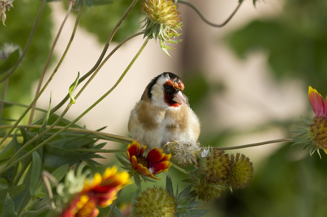 Goldfinch, Bird, Nature, Flora, Flower, Outdoors