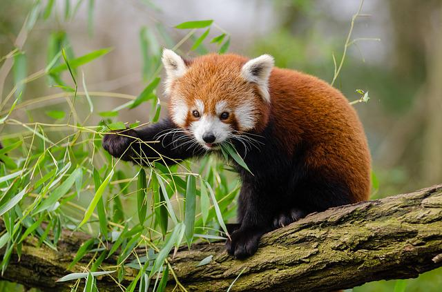 Animal, Red Panda, Branch, Cute, Leaves, Outdoors