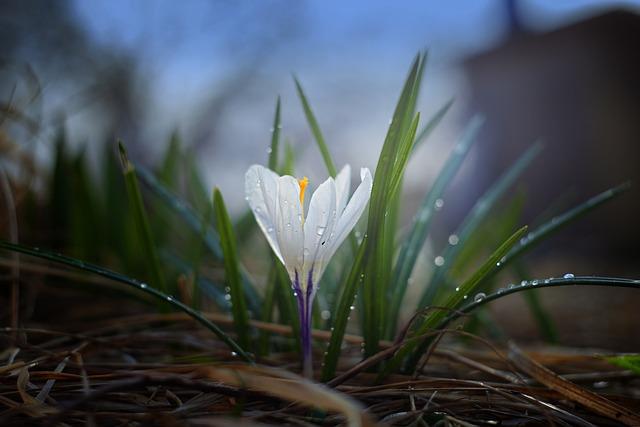 Nature, Crocus, Plant, Outdoors, Flower, Leaves, Garden