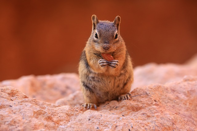 Chipmunk, Nature, Wildlife, Squirrel, Outdoors, Rodent
