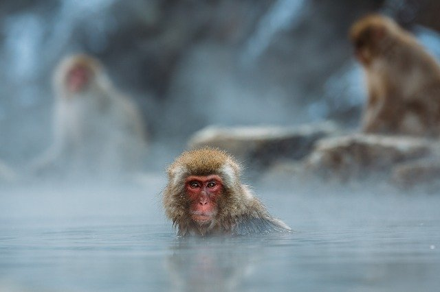 Animals, Monkeys, Macaque, Nature, Outdoors, Primate