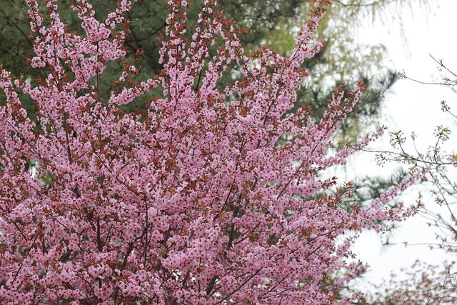 Cherry Blossom, Peach Blossom, Outing, Woods
