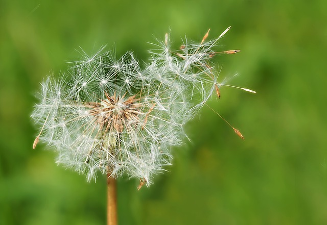 Dandelion, Outliers, Kuhblume, Blow, Flower, Nature