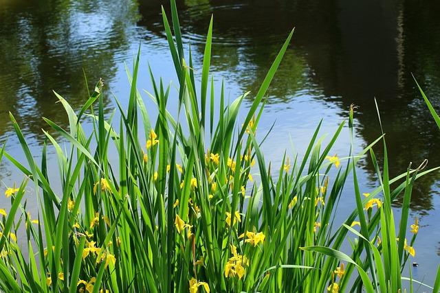 Iris Pseudacorus Yellow, Over The Water, Yellow Flowers