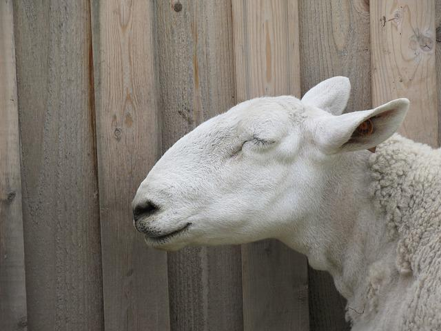 Sheep, Ovis Aries, Animal, Livestock, White, Domestic