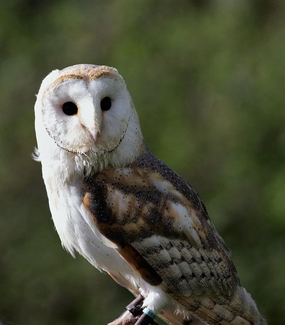 Barn Owl, Owl, Barn, Bird, Animal, White, Beak, Raptor