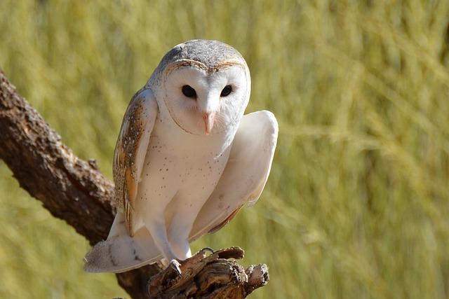 Barn Owl, Owl, Bird, Wildlife