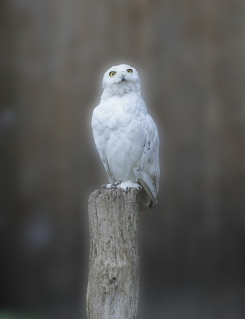 Snowy Owl, Owl, Bird, Animal Recording, Mystical