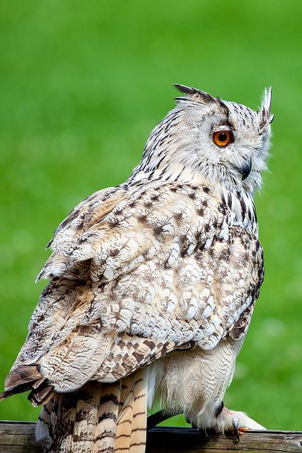 Owl, Eagle Owl, Bird, Bird Of Prey, Feather, Raptor