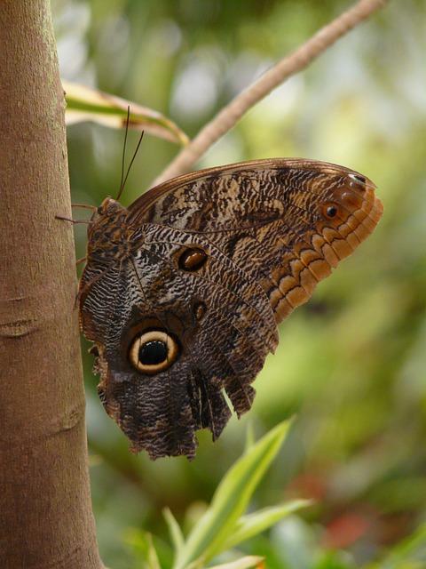 Owl Butterfly, Brassolini, Butterfly, Caligo Eurilochus