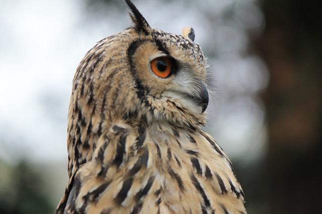 Owl, Eagle Owl, Eagle-owl, Hunting, Bird, Eyes, Orange