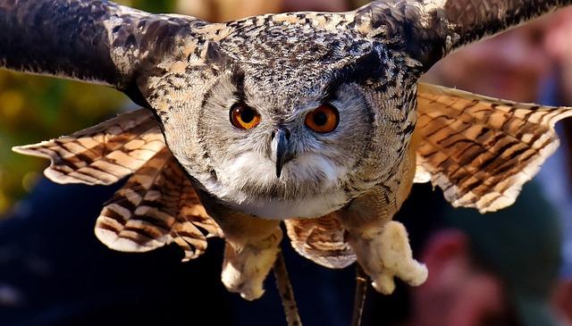 Owl, Raptor, Bird, Feather, Plumage, Birds, Animal