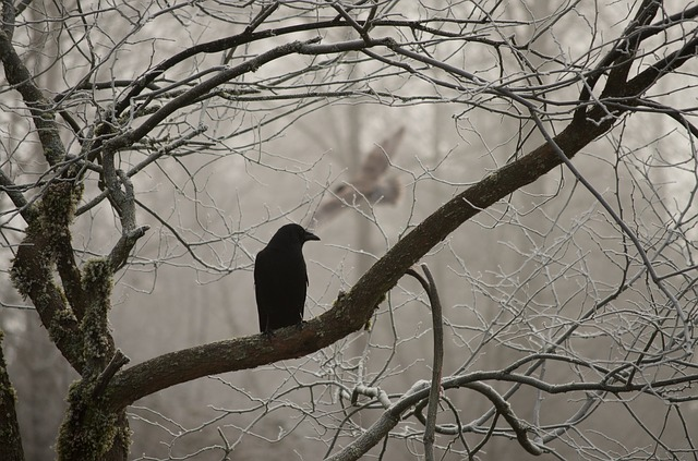 Crow, Harassing, Owl, Winter, Frost, Branch, Limb