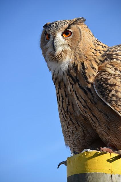 Eagle Owl, Großuhu, Owl