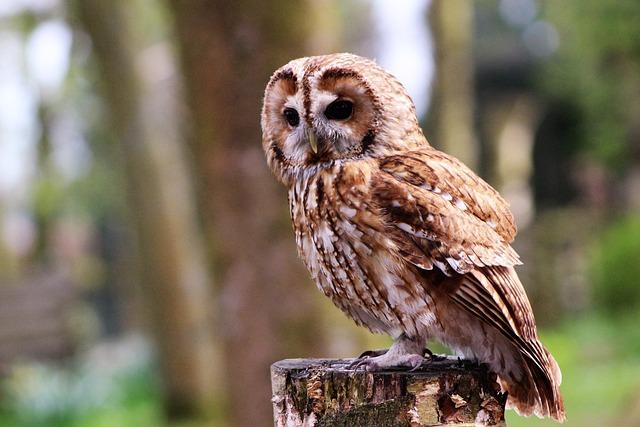 Boobook Owl, Little Owl, Staring, Owl, Bird, Boobook
