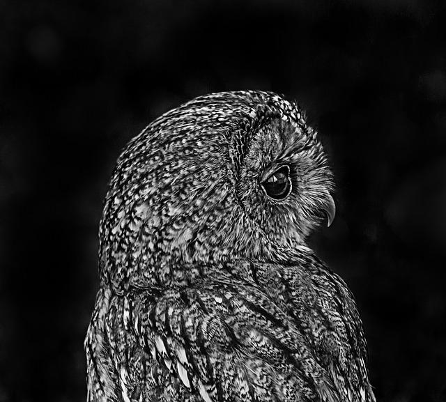 Owl, Black And White, Bird, Nature