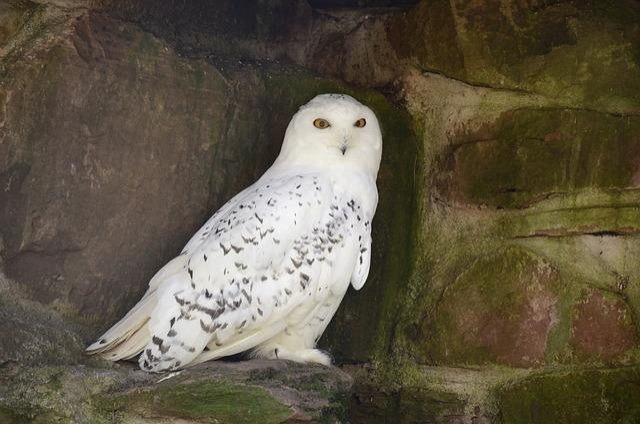 Snowy Owl, Owl, White, Bird, Nocturnal, Nature