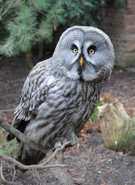 Owl, Bird, Night, Kautz, Eyes, Night Active, Feather