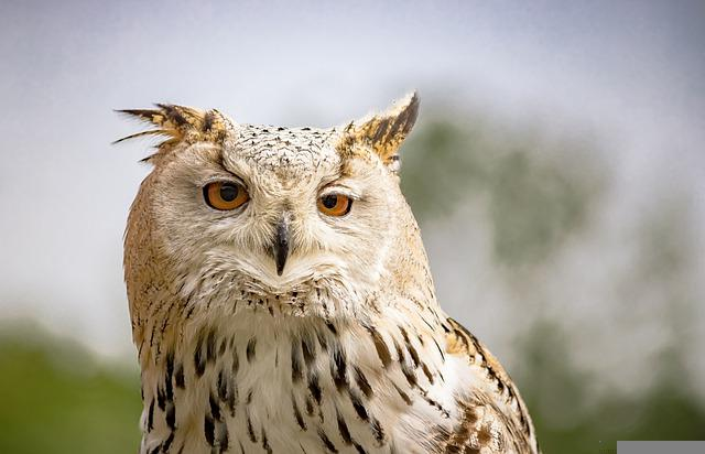 Snowy Owl, Owl, Eagle Owl, Bird, Raptor