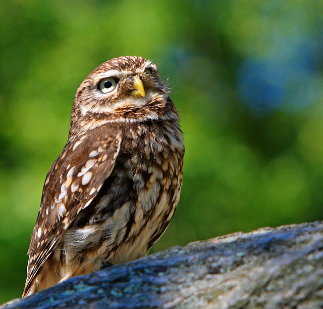 Owl, Little Owl, Bird, Animal, Wildlife, Beautiful