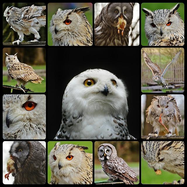 Owls, Snowy Owl Bubo Scandiacus, Collage, Bird, Feather