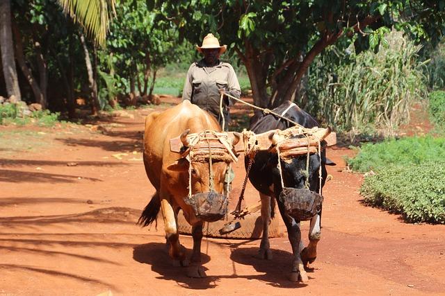 Farmer, Cuba, Oxen, Animals, Team, Ox, Hat, Sunny