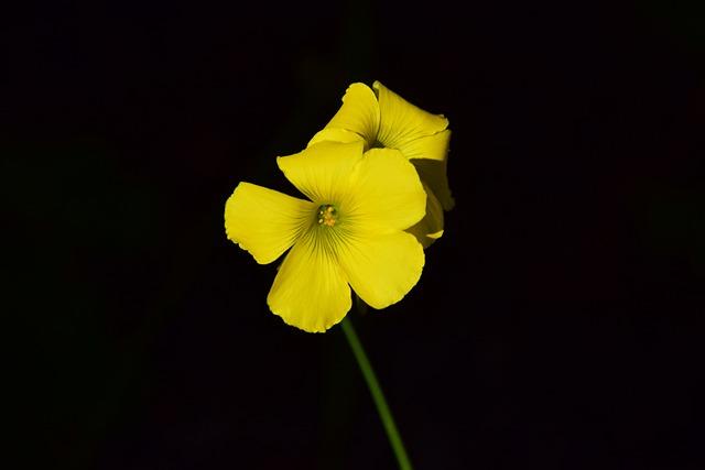 Oxalis Corniculata, Blossom, Bloom, Yellow