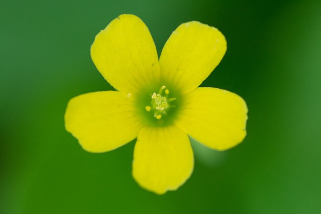 Oxalis Corniculata, Wildflower, Wildflower Close-ups