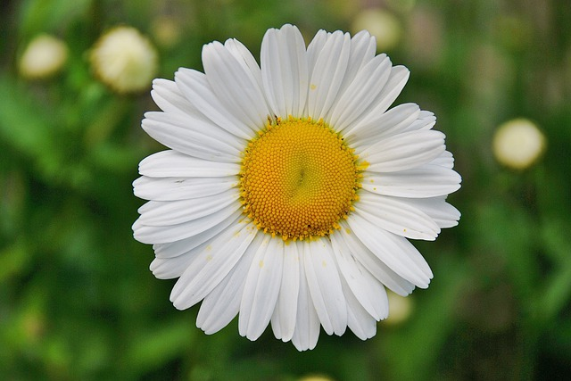 Flower, Daisy, Petals, Oxeye Daisy, Dog Daisy