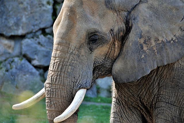 Elephant, Pachyderm, Tusks, Close Up