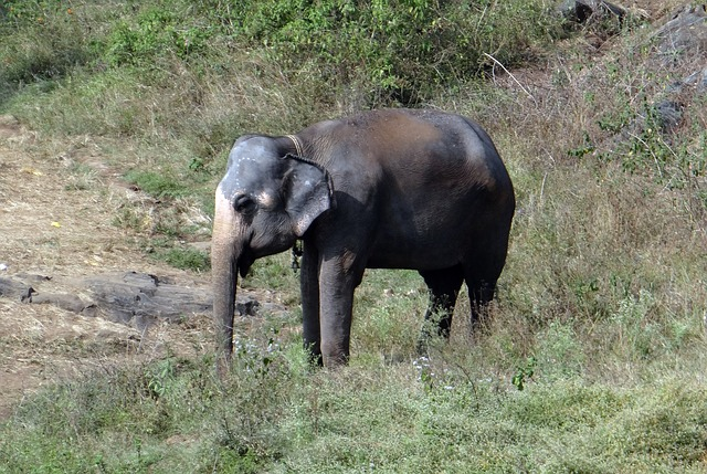 Elephant, Tamed, Indian, Animal, Pachyderm, Jumbo