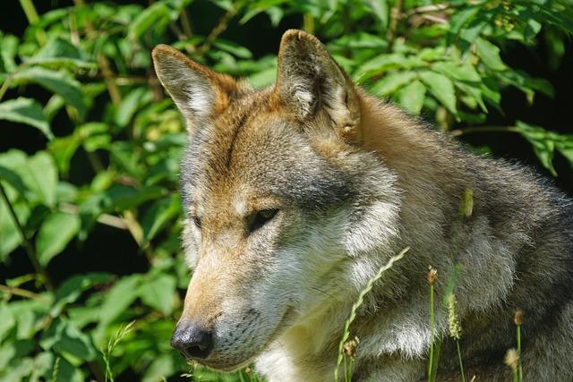 Wolf, Predator, Pack Animal, Carnivores, Mammal