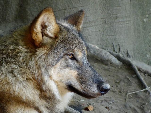 Wolf, Animals, Nature, Zoo, Pack Animal