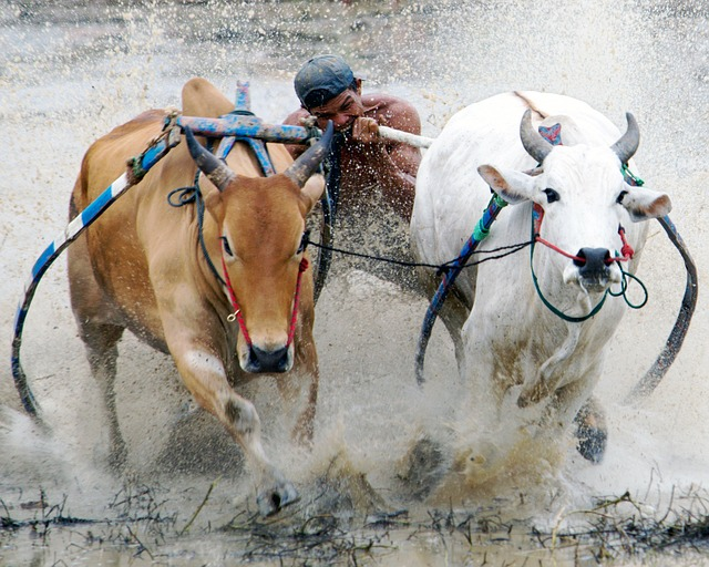 Buffalo, Racing, Pacu Jawi, Culture