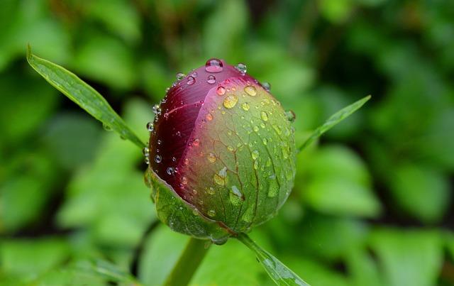 Peony, Bud, Common Peony, Blossom, Bloom, Paeonia