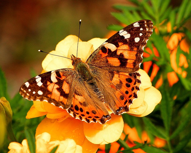 Painted Lady Butterfly, Vanessa Cardui, Insect, Moth