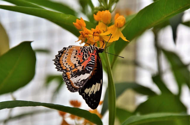 Painted Lady, Butterfly, Tropical Butterfly, Insect