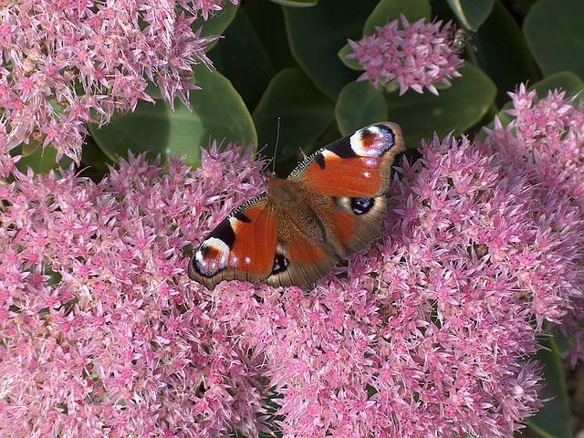 Painted Peacock, Sedum, Butterfly, Flower, Nature