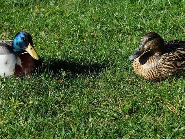 Mallard Pair, Stock Duck Couple, Pair, Males, Female