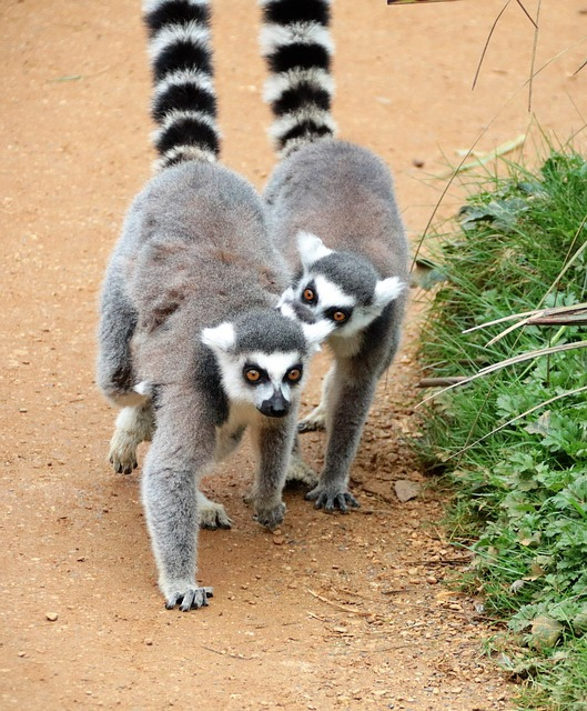 Lemur, Pair Of Ring Tails, Africa, Conservation